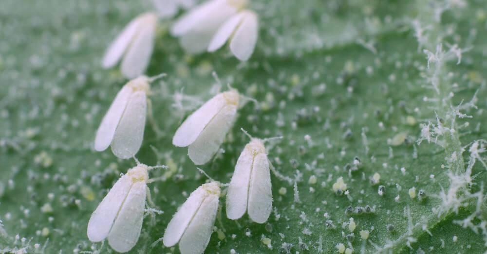 Plaga de mosca blanca. Fuente: verdecora.es