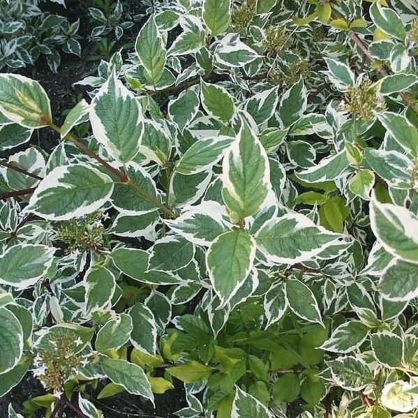 Cornus alba sibirica variegata, una de las especies escogidas para este jardín.